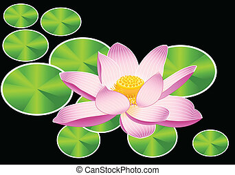 Lotus lily - Blooming sacred lotus flower Nelumbo over black...