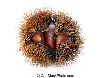 chestnut bur - brown chestnut bur on white background