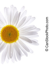 Beautiful daisy on isolated white background