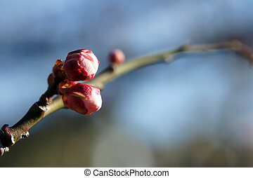 Bud of the flower of the plum. Plum blossoms shooting (14:00...