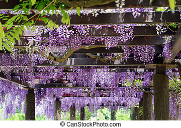 Wisteria trellis It takes a picture in May