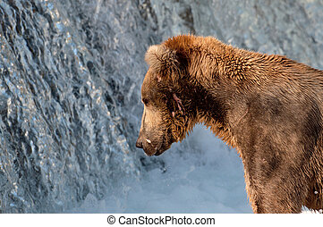 Alaskan brown bear fishing for salmon - A large Alaskan...