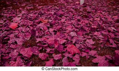 falling purple leaves full on ground