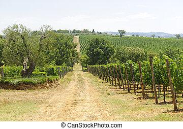 Maremma (Tuscany), vineyard - Maremma (Tuscany, Italy),...