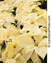 Christmas Plant - Rows of white poinsettia plants being...