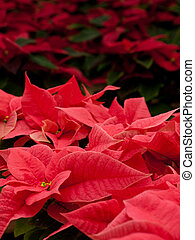 Christmas Plant - Rows of red poinsettia plants being grown...