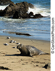 Elephant Seal, Piedras Blancas, California, USA
