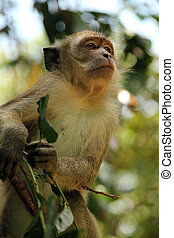 Long-tailed Macaque Scouting - Long-tailed Macaque, Taman...