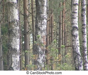 Birch tree forest trunks Natural white black zebra colors