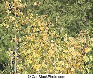 Birch tree branches with leaves moving in wind and fir...