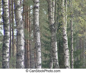 Birch tree forest trunks.