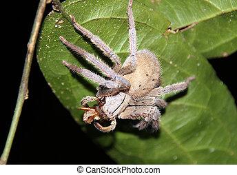 Tarantula - Close-up of Tarantula, Taman Negara National...