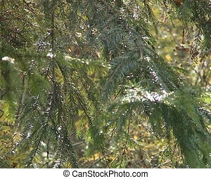 Evergreen fir tree branches beautifully sunlight by sun.