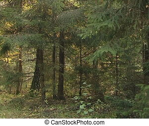 Fir trees and autumn colored birch trees near gravel road.