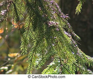 Evergreen fir tree branch closeup beautifully sunlight by...