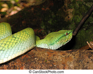 Close-up of a Popeu2019s Pit Viper - Close-up of a Pope's...