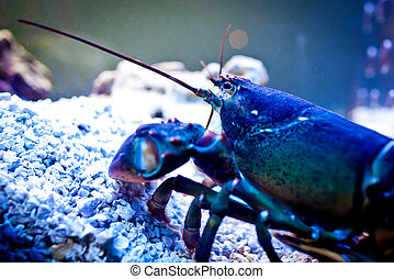 Lobster underwater - Lobster in restaurant aquarium ready to...