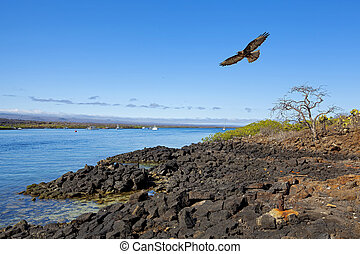 Galapagos landscape - Galapagos Hawk flying over dry land...