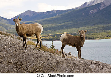Rocky Mountain Sheep Alberta Canada young kid