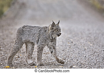 Rocky Mountain Lynx Alberta Canada Close young