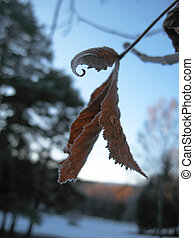 Red frozen leaves and cold winter morning