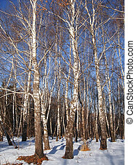 White birches and clear blue winter sky