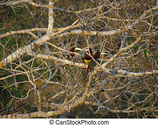 Three aracaris in a tree in the rainforest - Three...