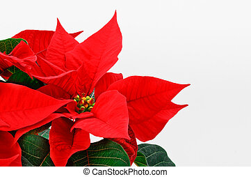 Beautiful Poinsettia. - Poinsettia, red Christmas flower on...