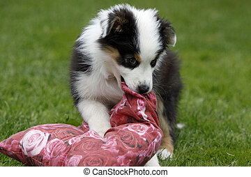 Playing Australian Shepherd puppy on a meadow