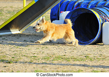 Terrier in Agility competition