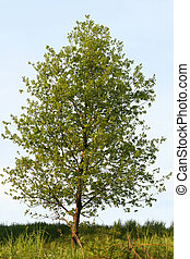 Poplar tree - Single green poplar tree