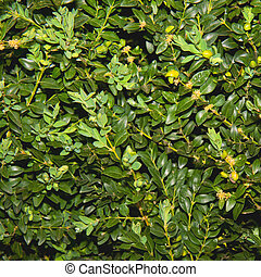 Square of boxwood