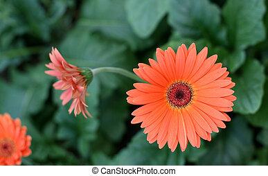 Herbera daisy