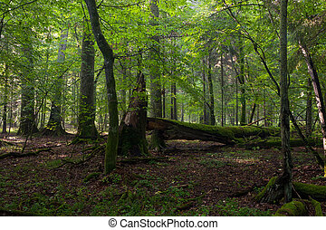Big old oak and dead wood - Old oak broken moss wrapped in...