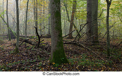 Old trees in natural stand of Bialowieza Forest