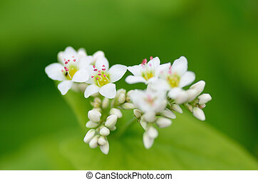 Buckwheat flowers - Macro photo of Buckwheat flowers...