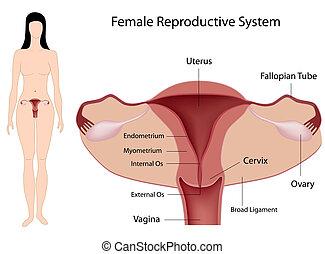 femme, reproducteur, système, eps8