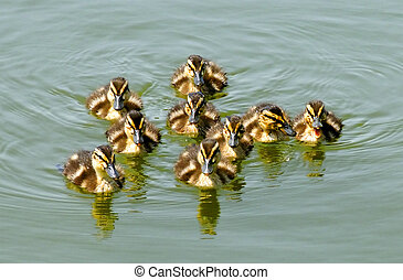 Ducklings Swimming to Shore - A group of nine ducklings...