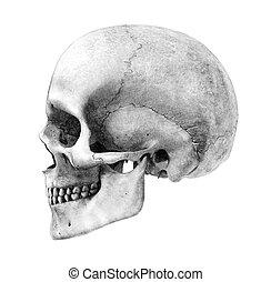 humano, cráneo, -, lado, vista