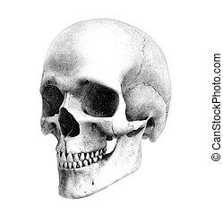 Human Skull - Three-Quarter View