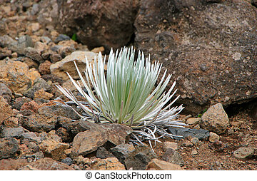 Silversword Plant Haleakala National Park Maui Hawaii