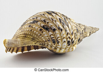 Rare conch shell 1 - Rare conch shell from the tropics