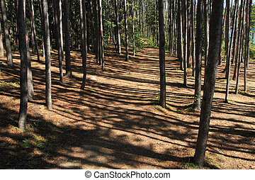 Forest Path - A walking path through a grove of pine trees