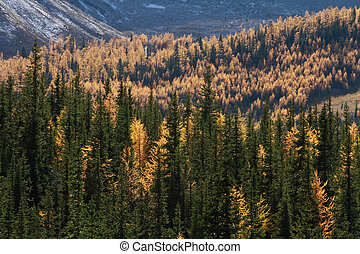 Autumn Alpine Larch Trees - Autumn Alpine Larch trees on a...