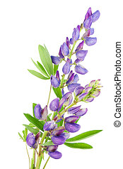 Violet tiny lupine flower macro isolated on white. Selective...