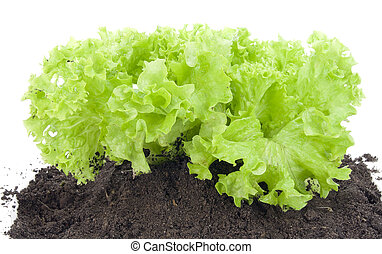 Green bush of salad on bed - Green bush of salad onsoil...