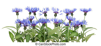 Border from blue cornflowers - Border from garden blue...