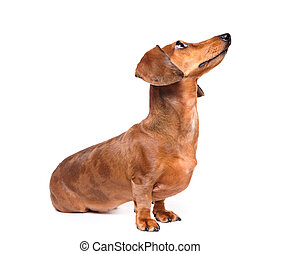 dachshund dog look up