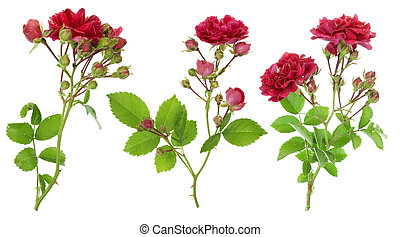 Isolated red roses branches set - Isolated red roses with...