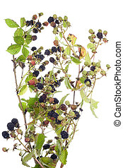 blackberry bush isolated - blackberry bush with berries...